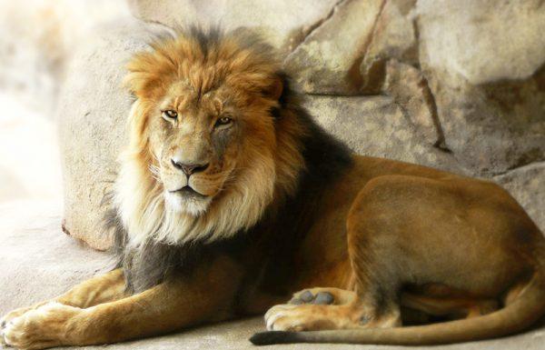 """מתי בעל ה""""תרומת הדשן"""" הלך לראות אריות בגן חיות?"""