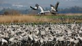 Cranes at the Hula Lake in northern Israel. Cranes are the highlight of bird watching tours at the Hula Lake and Hula Valley.